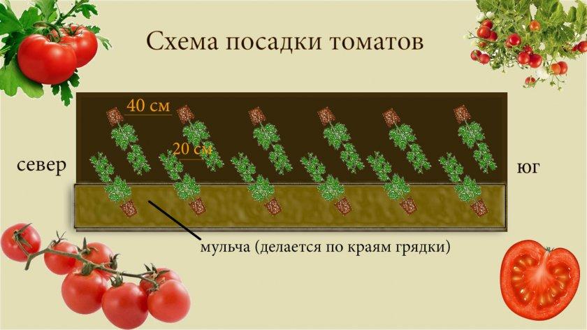 Шахматная посадка томатов в теплице