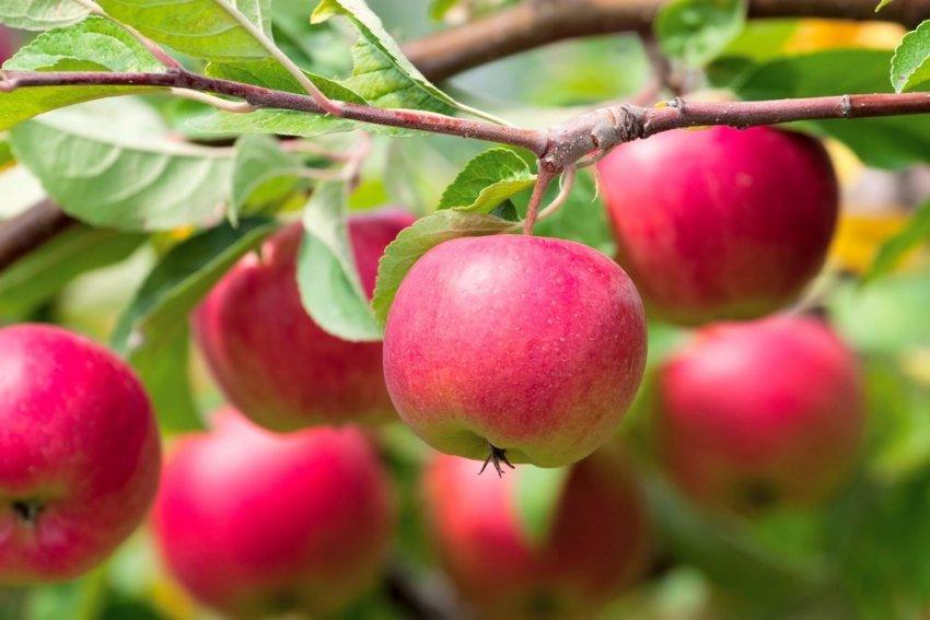 Яблоня Ромус-1