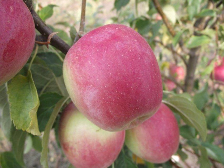 Яблоня Приам