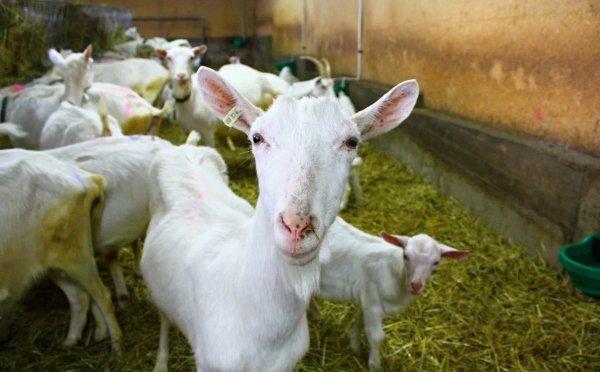 Удобные кормушки для коз