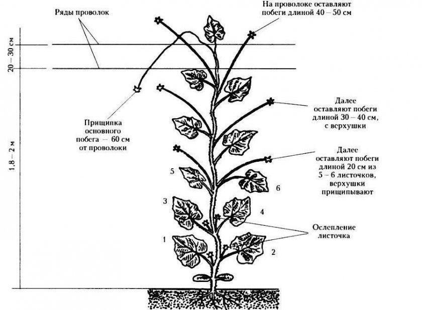 Формирование кустов огурцов