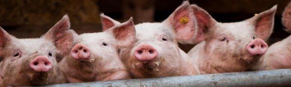 Стимуляторы роста для свиней добавки и премиксы