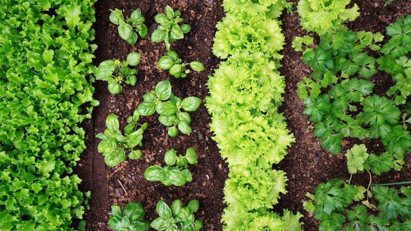 Листовые овощи и зелень на грядке