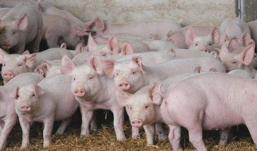 Стимулятор роста для свиней