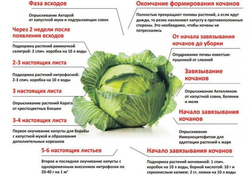 Уход и удобрение капусты