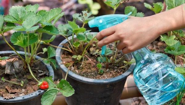 Чем обработать землянику от вредителей
