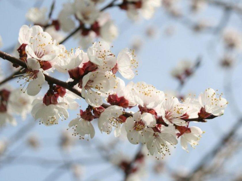 Цветение абрикоса Хабаровский