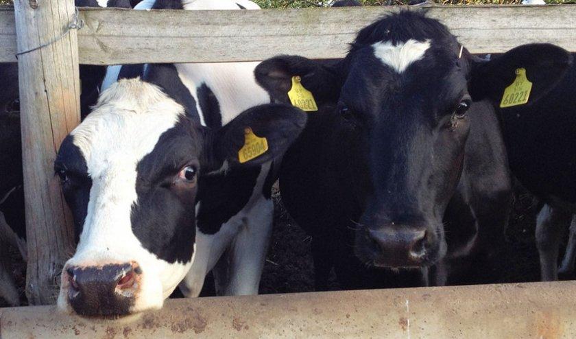 Абсцесс у коров
