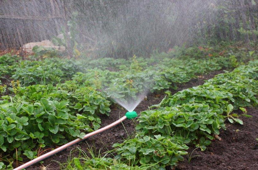 Полив клубники методом дождевание