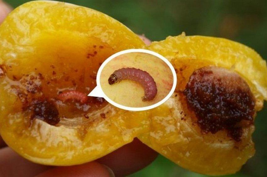 Поедание плодов абрикоса вредителями
