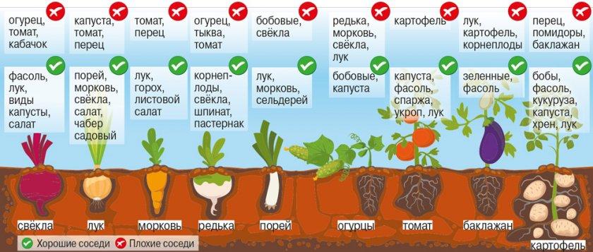 Соседи картофеля