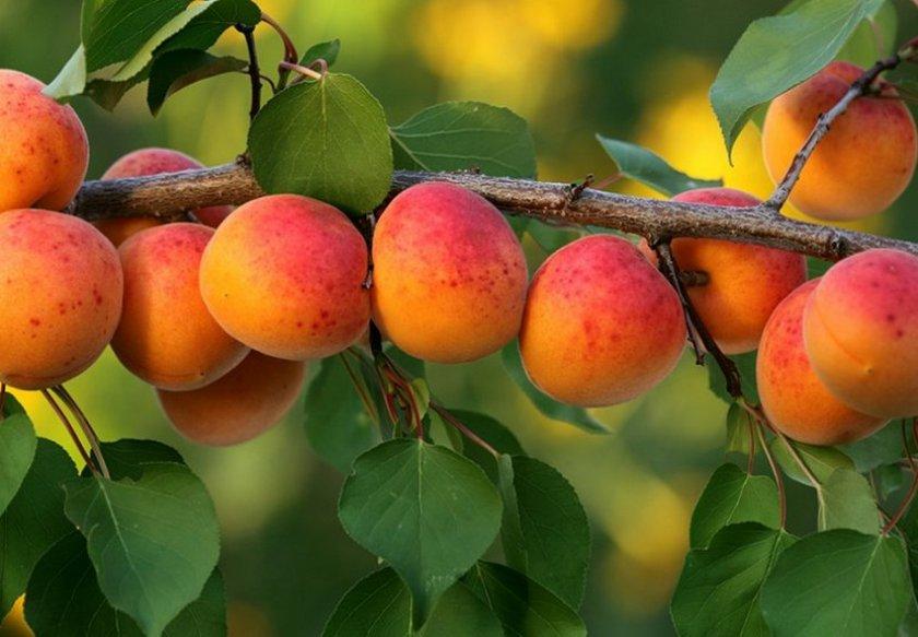 Плодоносность абрикоса