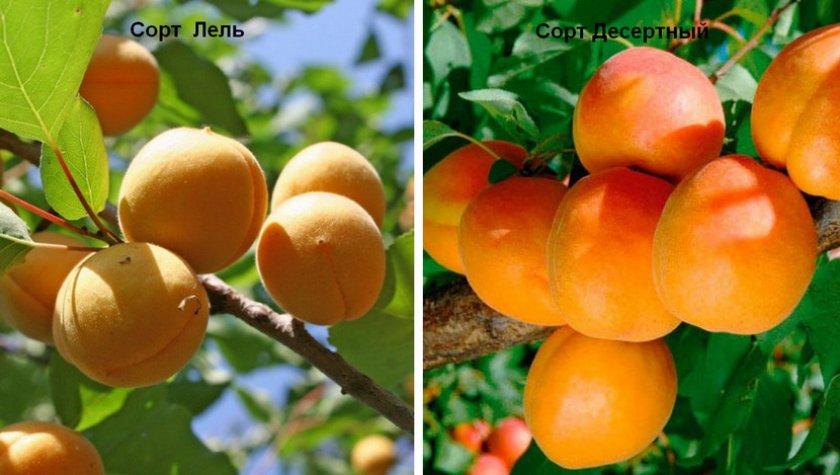 Самоплодные сорта абрикосов