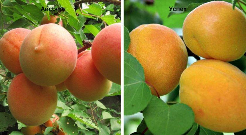 Искусственные опылители абрикоса