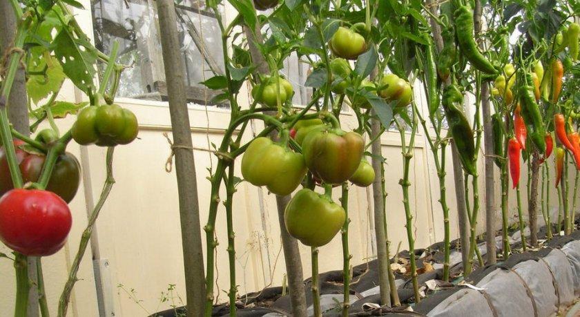 Перцы с томатами