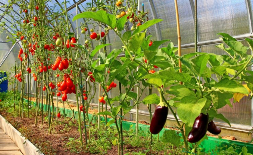 Баклажаны с томатами в теплице