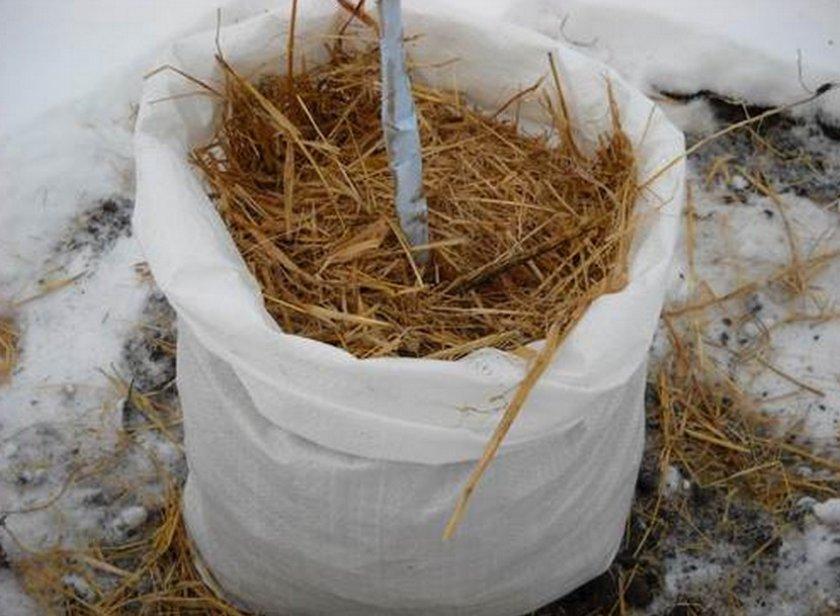 Укрытие молодой черешни сеном на зиму