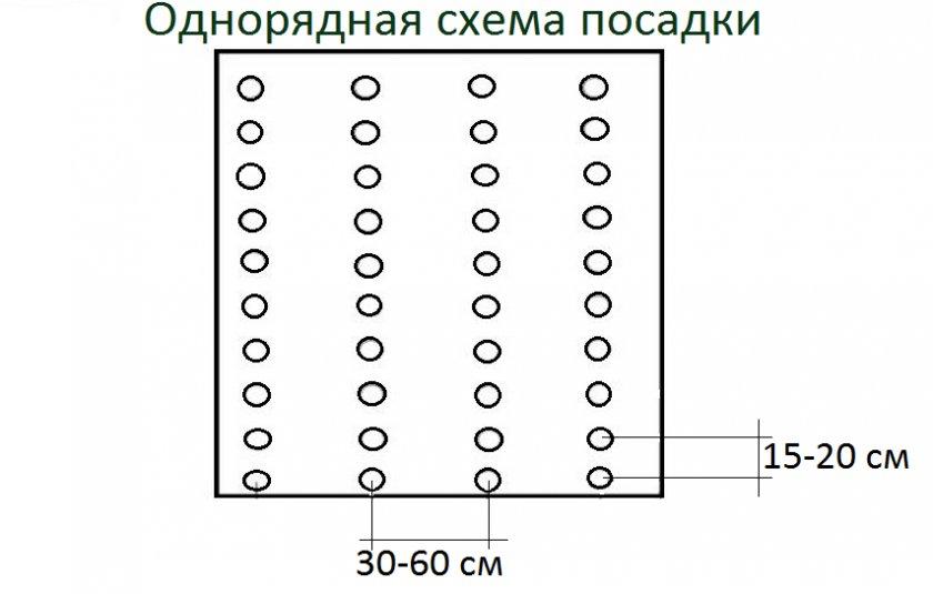 Схема посадки спаржевой фасоли