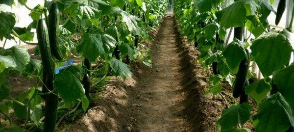 Подготовка почвы для огурцов в теплице весной какую землю любят чем обработать