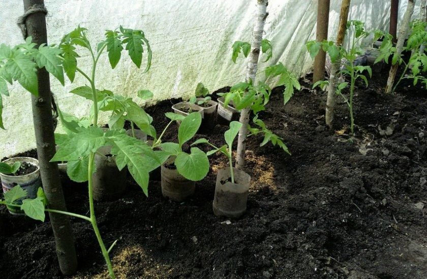 Кабачки и томаты в теплице