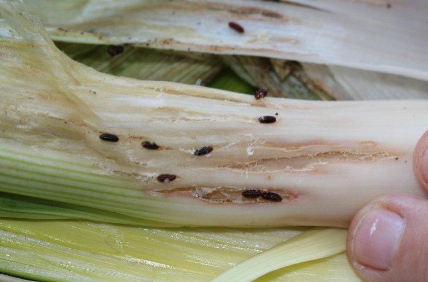 Личинки луковой мухи