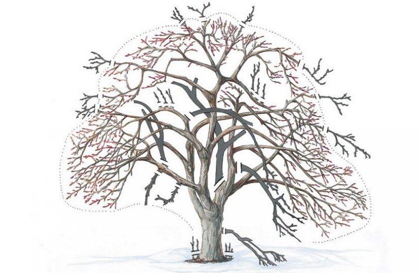 Омоложение старого дерева