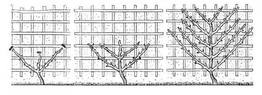 Деревья на шпалере