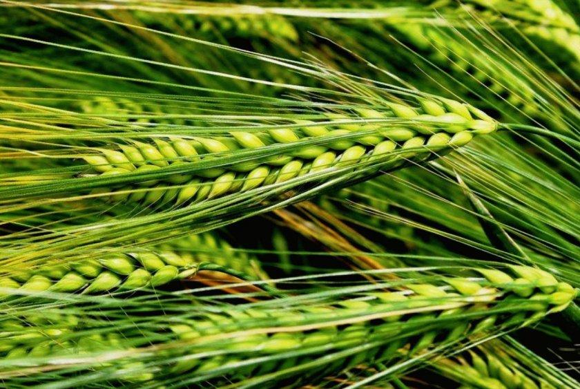 В Ирландии фермеры возмущены отсутствием ирландского ячменя в кормовых рационах