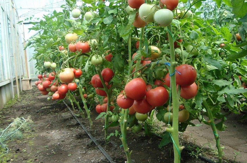 Розовые томаты в теплице