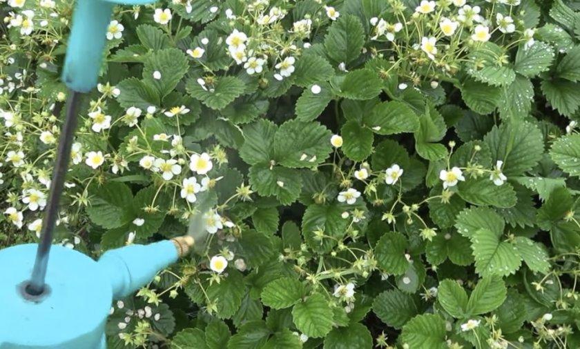 Опрыскивание цветущей клубники раствором борной кислоты