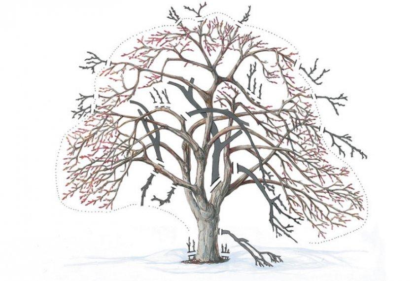 Схема обрезки старых яблонь