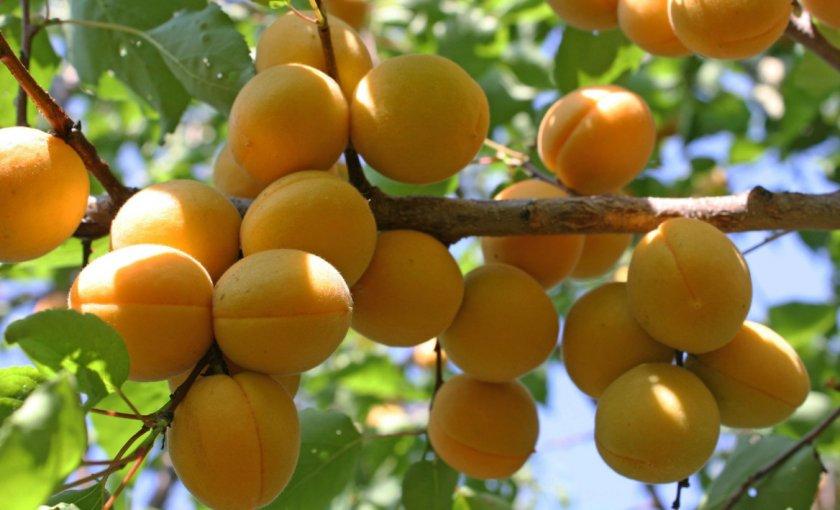 Выбор сорта абрикоса