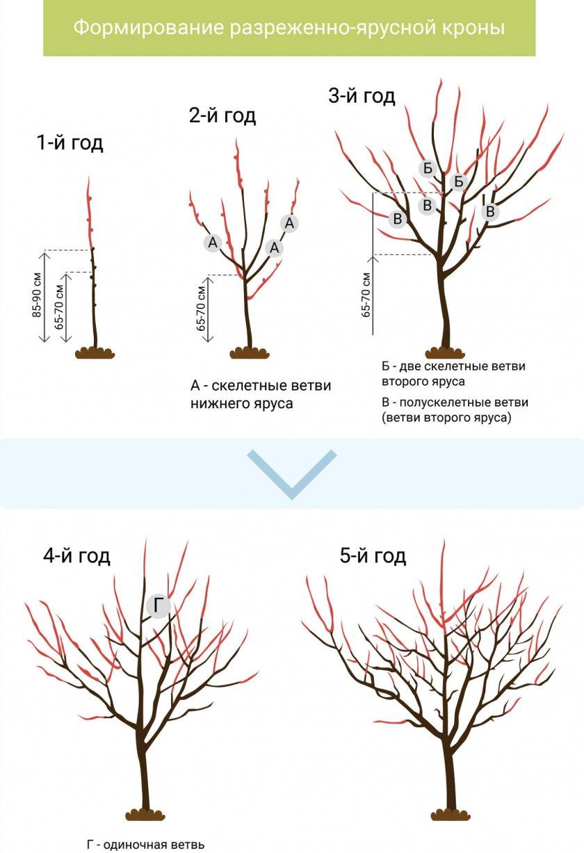 Схема формировки разреженно-ярусной кроны плодового дерева