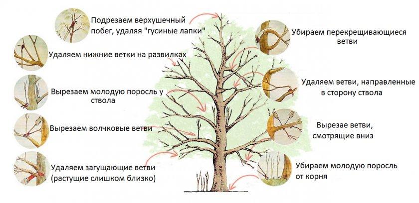 Правила санитарной обрезки старого плодового дерева