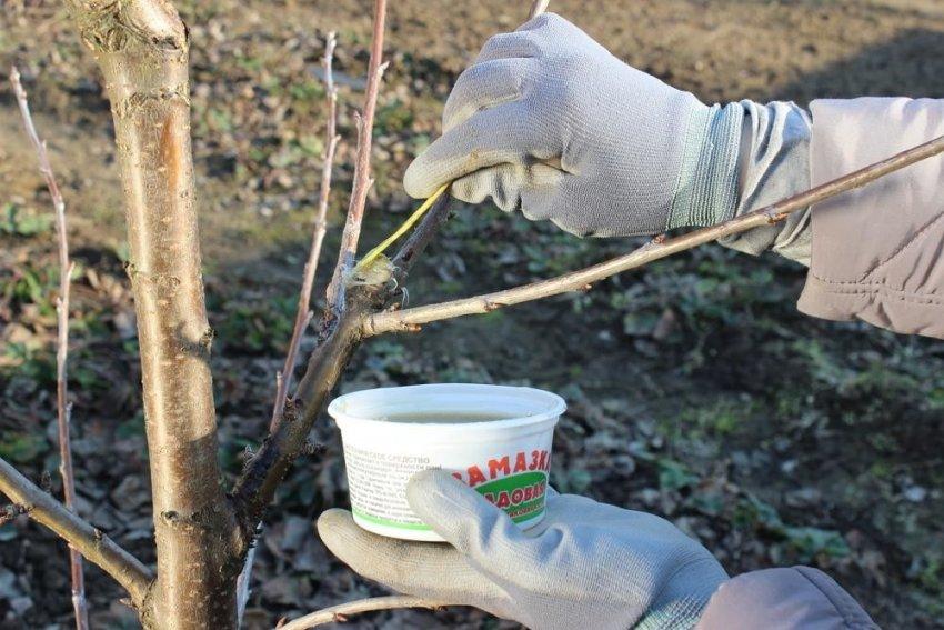 Обработка среза садовым варом