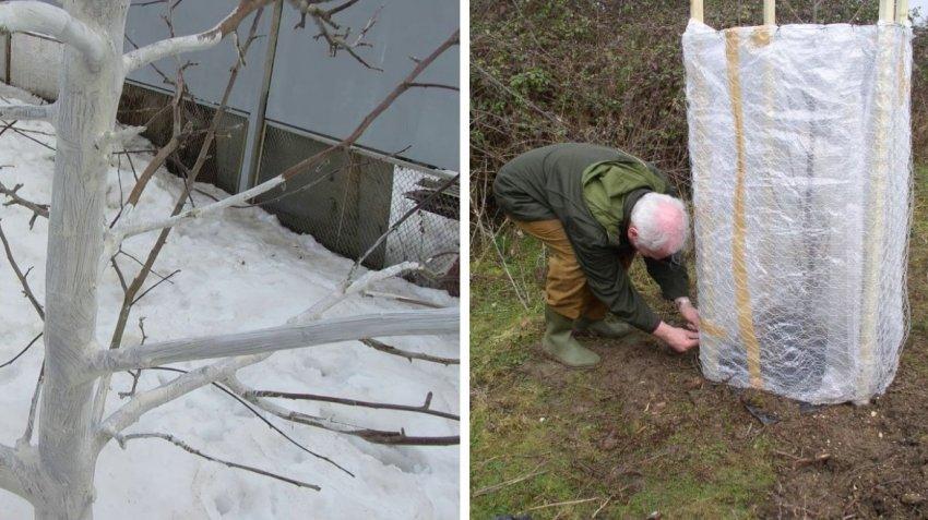 Защита черешни на зиму