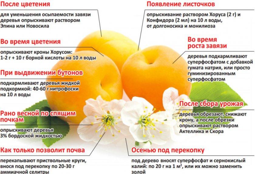 Поэтапный уход и подкормка абрикоса
