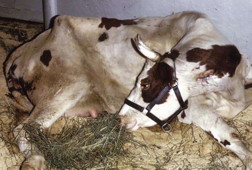 Цистицеркоз у коровы