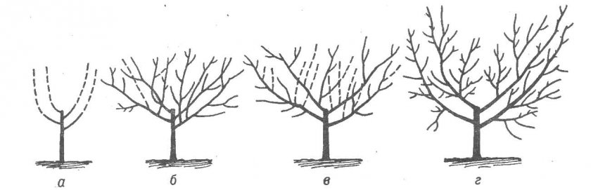 Схема австралийского куста