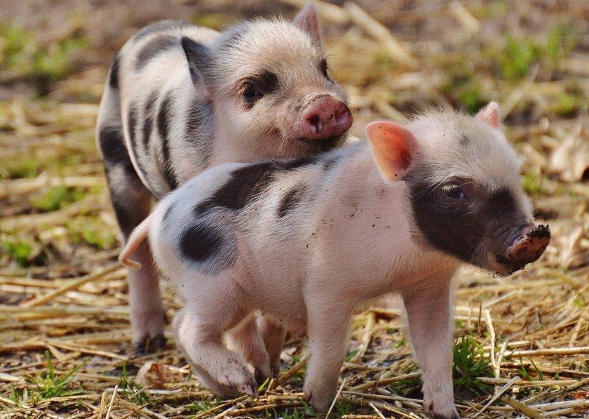 Чума, лейкоз и ящур истощили «материальный иммунитет» российского животноводства