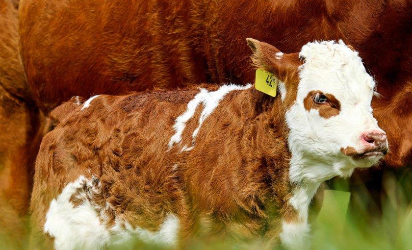 Амурские скотоводы продолжают эксперименты с полом будущих телят