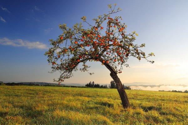 Яблоня: сколько лет живет дерево?