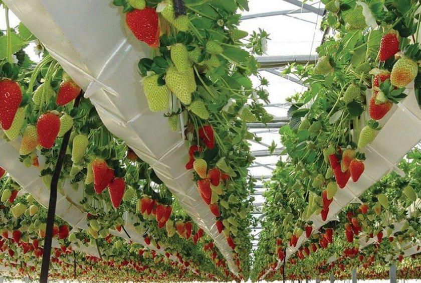 Безгрунтовая технология выращивания клубники