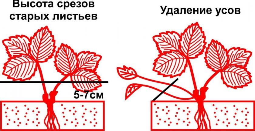 Схема среза клубники