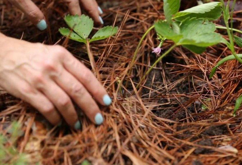 Выращивание клубники на сосновых иголках