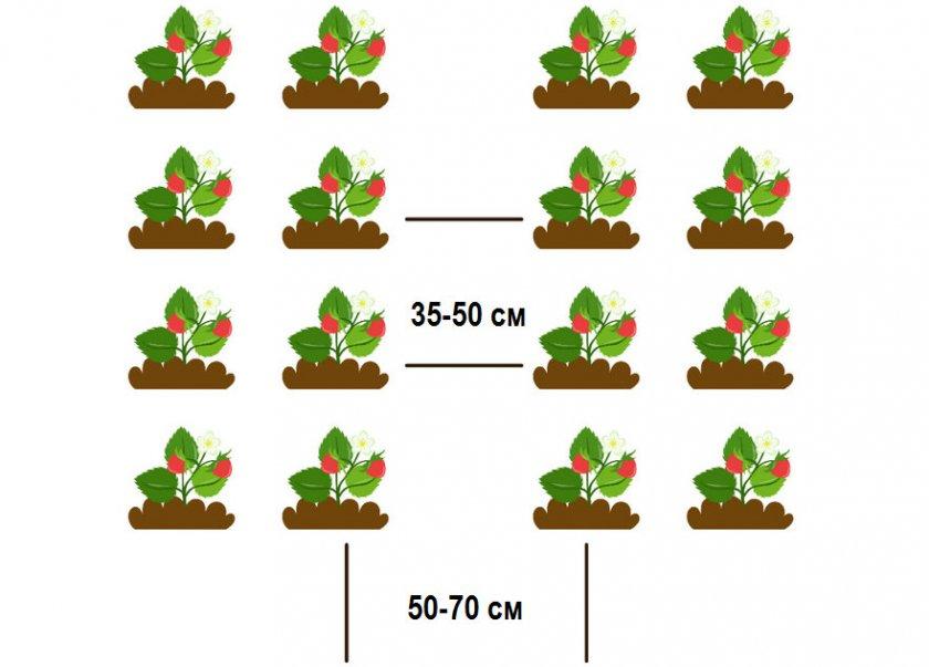 Схема высаживания клубники