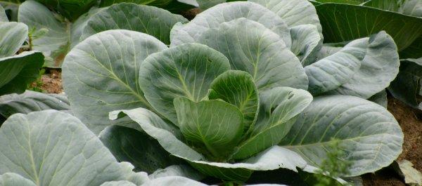 Чем удобрять капусту после высадки в открытый грунт