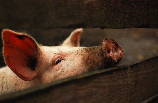 Сколько лет в среднем живут свиньи в домашних условиях и в дикой природе, что влияет на продолжительность их жизни