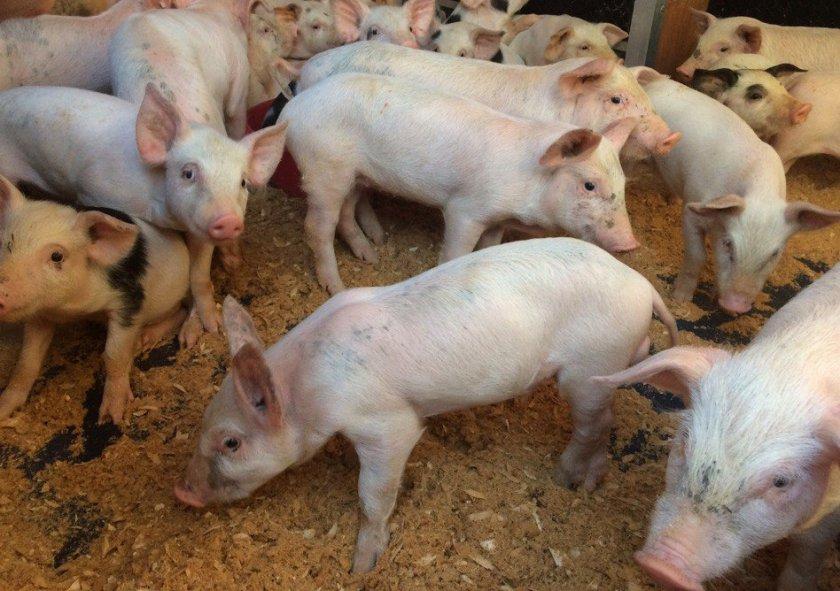 Свиньи Ландрас в хлеву