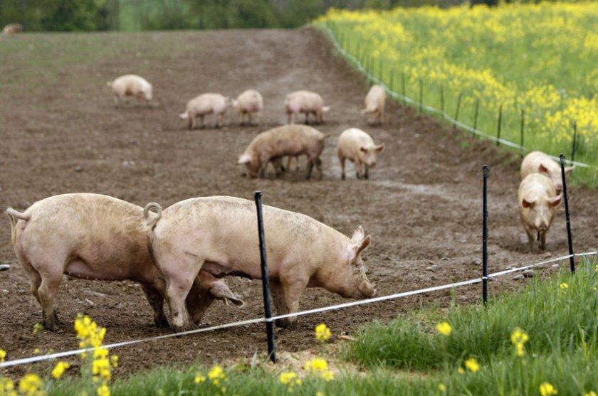 Выгул свиней